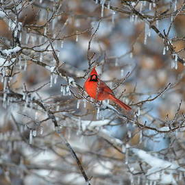 Cim Paddock - Cardinal in winter