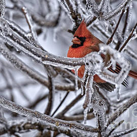 World Wildlife Photography - Cardinal Pictures 62