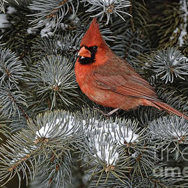 World Wildlife Photography - Cardinal Pictures 90