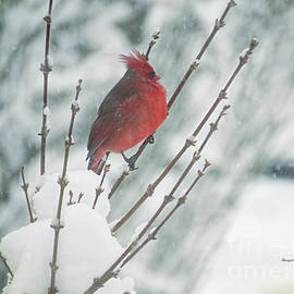 Shelly Weingart - Cardinal Shaking Off the Snow