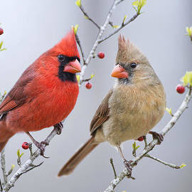 Bonnie Barry - Cardinals in Early Spring