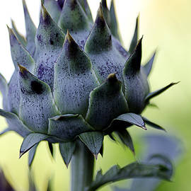Julie Palencia - Cardoon Waiting to Bloom