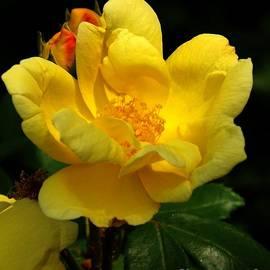 Sara  Raber - Caribbean Rose