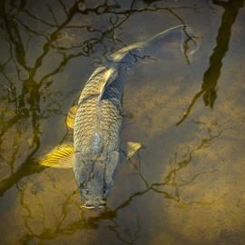 Randall Nyhof - Carp feeding in the shallows