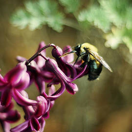 Rebecca Sherman - Carpenter Bee on Purple Hyacinth