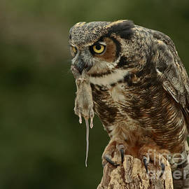Inspired Nature Photography By Shelley Myke - Catch of the Day - Great Horned Owl
