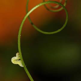 Jaroslaw Blaminsky - Caterpillar and curly branch
