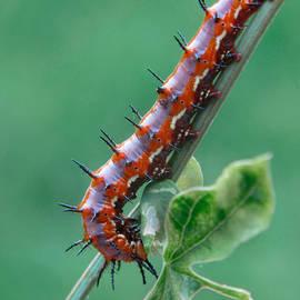 David and Carol Kelly - Caterpillar