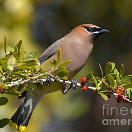Kathy Baccari - Cedar Waxwing And Red Berries