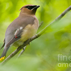 World Wildlife Photography - Cedar Waxwing Pictures 36