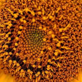 Geraldine Scull   - Center of a Sunflower
