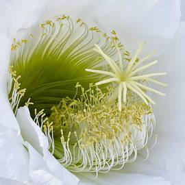 Bryan Keil - Cereus in bloom