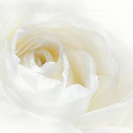 Jennie Marie Schell - Champagne White Rose Flower
