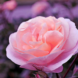 Lena Kouneva - Champagne Rose