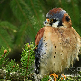 Inspired Nature Photography By Shelley Myke - Charming by Nature American Kestrel Falcon.