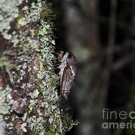 Al Powell Photography USA - Charming Cicada