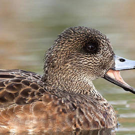 Ruth Jolly - Chatting Wigeon