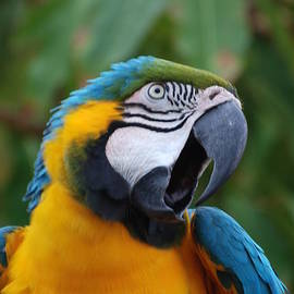 Chatty Blue and Gold Macaw