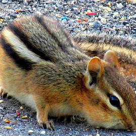 Danielle  Parent - Cheeky Chipmunk