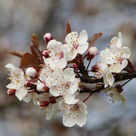 Marilyn Wilson - Cheerful Cherry Blossoms