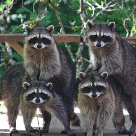 Kym Backland - Cheerleading Raccoons