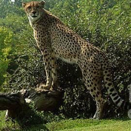 Gary Gingrich Galleries - Cheetah-1