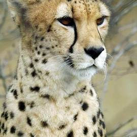 Sara  Raber - Cheetah Love