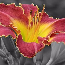 MTBobbins Photography - Cherokee Heritage Daylily Color