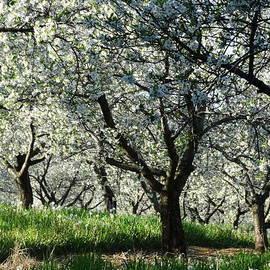 David T Wilkinson - Cherry Blossom Canopy