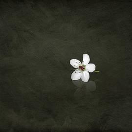 Steven  Michael - Cherry Blossom