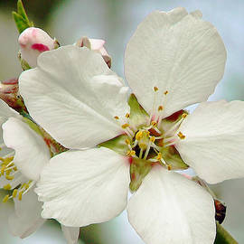 Pamela Patch - Cherry Blossom Time