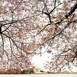 Susan  Schmitz - Cherry Blossom Trees and the Jefferson Memorial