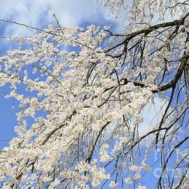 Allen Beatty - Cherry Blossoms 7