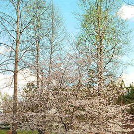 Paulette B Wright - Cherry Blossoms and Birch Trees