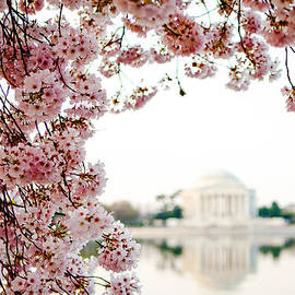 Susan  Schmitz - Cherry Blossoms Framing the Jefferson Memorial