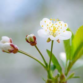 Alexander Senin - Cherry Flower
