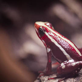 Paul Slebodnick - Cherry Frog