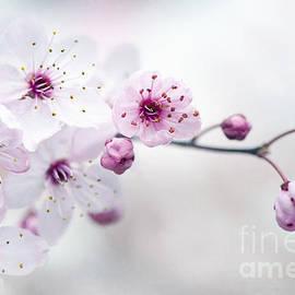 Jacky Parker - Cherry Plum Blossom