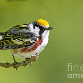 World Wildlife Photography - Chestnut-sided Warbler Pictures 76