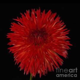 Ann Jacobson - Cheyenne -- A dahlia in my garden