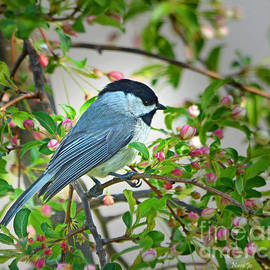 Nava  Thompson - Chickadee Song Bird 2