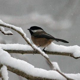 Ed Nicholles - Chickadee In Snow