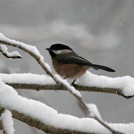 Ed Nicholles - Chickadee In Snow