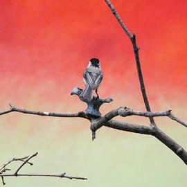 Dave Markman - Chickadee on Canvas