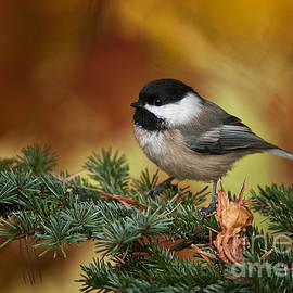 World Wildlife Photography - Chickadee Pictures 375