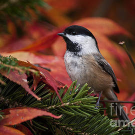 World Wildlife Photography - Chickadee Pictures 377
