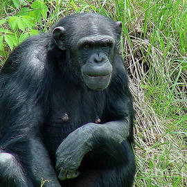 Gary Gingrich Galleries - Chimpanzee-140