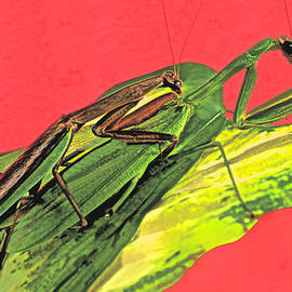 Leslie Crotty - Chinese Male Mantis Attempting To Mate With His Female Counter Part