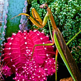 Leslie Crotty - Chinese  Praying Mantis Walking Very Carefully On A Cactus Plant