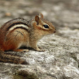 Inspired Nature Photography By Shelley Myke - Chipmunk Basking in the Sun